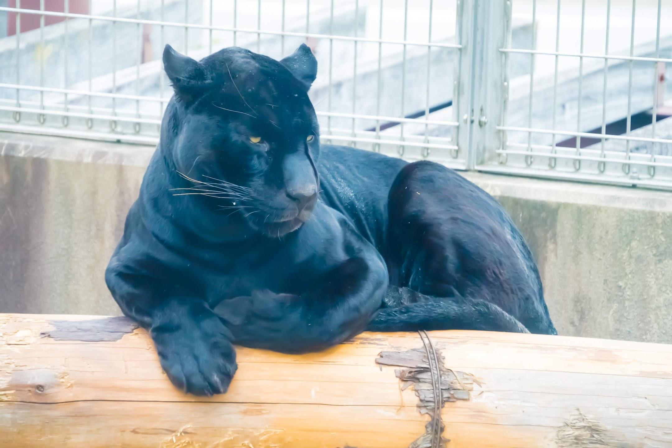 Kobe Oji Zoo jaguar