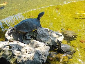 Photo: Крокодиловые фермы. Черепахи там живут то же.