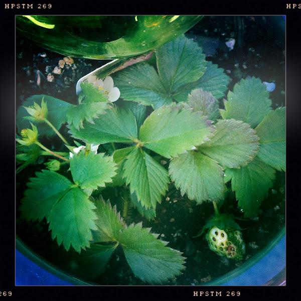 Photo: future strawberries...HURRY UP!