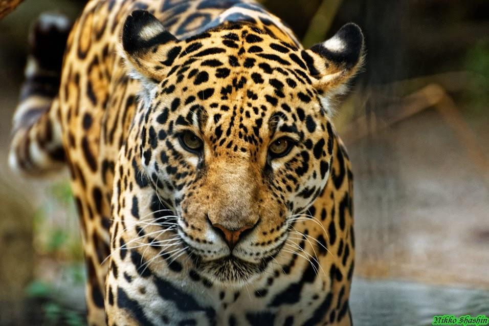 Jaguar, Anvers - Tous droits réservés