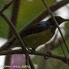 Brown-throated Sunbird