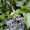 blue elderberry