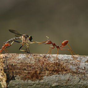 grab by Andika Putra - Animals Insects & Spiders ( macro, bestoftheday, unic, ant, robberfly )