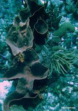 Photo: Brown Barrel sponge