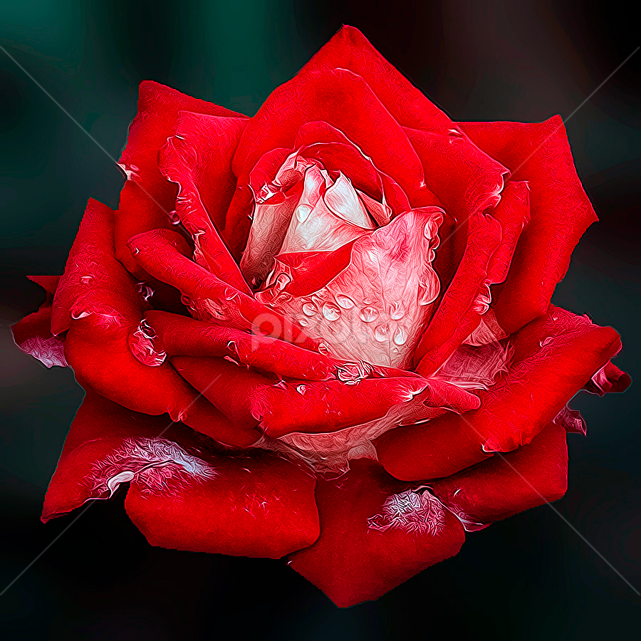 rose by Fadly Shaputra - Nature Up Close Flowers - 2011-2013