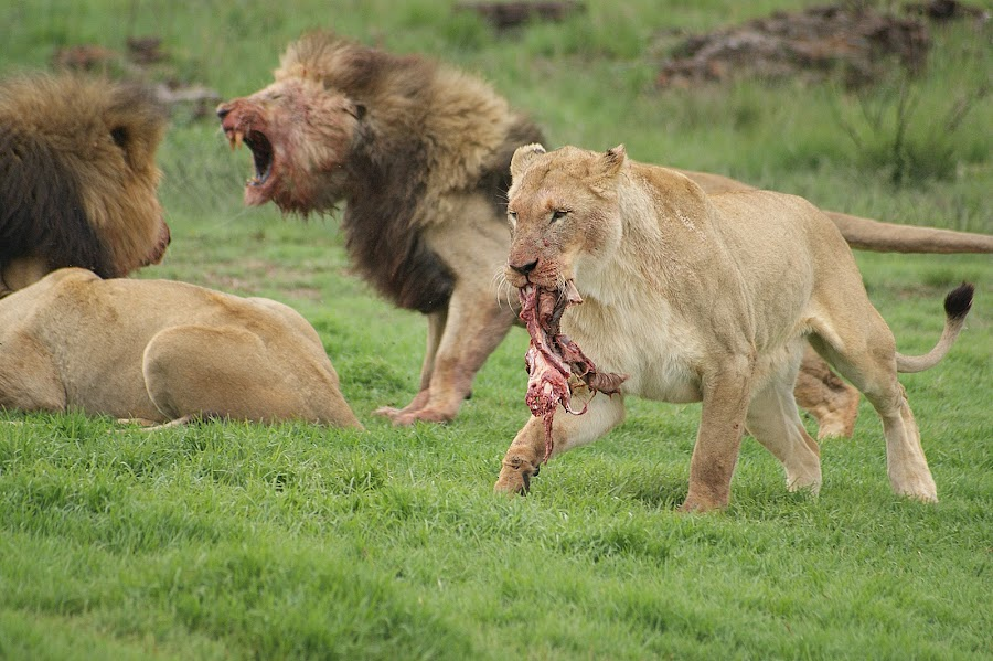 Two fight and the third gets away with prime rib by Charmane Baleiza - Animals Lions, Tigers & Big Cats ( charmane baleiza, lioness, male lions, wildlife, lions, predators )
