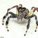 Great Pancorius Jumping Spider