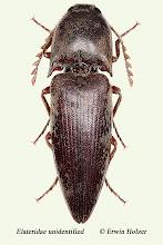 Photo: unidentified (3), 18,2 mm, Costa Rica, Boca Tapada (10°41´/-84°11´), leg. Gernot Kunz
