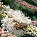 Brown flower beetle