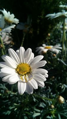 fiore e rugiada di amoled