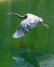 Photo: Blue Heron. AT&T Lake. Circa 2002. Canon G2.