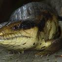 Eastern Bluetongue Lizard