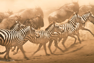 Photo: Zebra migration Tanzania, Africa From the blog http://www.kylefoto.com  Being on safari is always full of surprises. While the keen photographers and enthusiasts expect I always know what's going to happen, it all comes down to being as prepared as possible for when the action happens. While being surrounded by a herd of zebra and wildebeest, we were stationed where there was as much action as possible: by the river. These animals would stop to get some much needed water, but they are always nervous as there is an ancient threat that lurks in these waters, the crocodile.  A crocodile was lurking in the water, we wanted to see some action, but at the same time, we didn't. We were wondering why the crocodile wasn't paying any attention to the pedantic animals looking for refreshment at the shore, when the crocodile went to a log pulled out a long dead zebra under it and began to snack. Oooh, well he was full because he already had food in his pantry! It's likely this croc won't have to eat for months, given that they are cold blooded and thus don't use food energy to maintain their body temperature, a very efficient way of living.  Nevertheless the zebra would get their fill of water until paranoia set in and one would bolt away from the shore in fear, setting off a chain reaction. The once crowded shore would be instantly vacated as all the zebra and wildebeest fled for their lives. After a few seconds or so one thirsty animal would slowly make it's way to the shore and drink as more animals came in, and the cycle of spazzing at the shore would begin again. This gave us many opportunities to get these running action shots.  Photographic details: I intentionally used settings that get a lot of motion blur, normally something that people find undesirable. But it's this sense of motion that makes the viewer feel what it's like to be there. 1/100th of a second was guaranteed to get a blurry photo, as I followed the motion of these beasts as smoothly as I could. The incredible amount of dust in the air provided or a fantastic backdrop and a beautiful red cast on the image. CANON 7D 1/100s f/16.0 ISO100 330mm  If you like this, do me a favour and share!  More on my photo safaris: http://www.kylefoto.com/photographic-african-safaris/