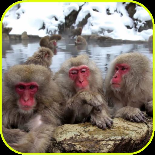 Funny Monkeys Live Wallpaper file APK Free for PC, smart TV Download