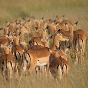 The Long Road Ahead by Avanish Dureha - Animals Other Mammals ( ashnil mara, masai mara, kenya )