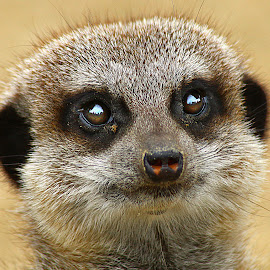 Meerkat by Chrissie Barrow - Animals Other Mammals ( nose, fur, mammal, animal, captive, meerkat, portrait, brown, eyes, fawn )