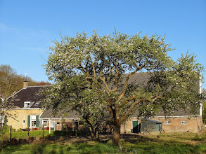 Photo: Appelboom, Hoflaan, Mijnsheerenland (weg)