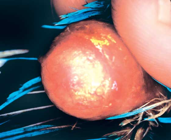 An egg-bound bird with the eggshell adhered to the uterus. This is typical in birds with nutritional disorders