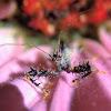 Spiny assassin bug nymph