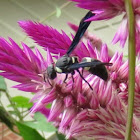 Four-toothed Mason Wasp