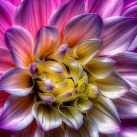 Swan Lake Dahlia by Rich Reynolds - Flowers Single Flower ( macro art, purple, art, dahlia, flower,  )