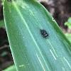 Leaf-mining Leaf Beetle