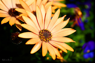 Photo: ...bright dreams...   How about some sunshine in our not that bright and sunny day today (at least in Chicago is rainy and cloudy)... HAVE A GREAT END OF THE WEEK, EVERYONE :)  #canonusers   #canon #canonphotographers   #canonphotography , +Canon Users  #promotephotography +Promote Photography  #flowers   #flower     #floral #floralphotography    New addition to my Fine Art America Portfolio: http://milena-ilieva.artistwebsites.com/featured/bright-dreams-milena-ilieva.html