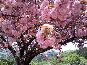 Photo: 国上寺。ソメイヨシノも風流で可憐だけど、八重桜もゴージャスで綺麗だわぁ~。