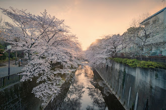Photo: A glowing sunset casts its warmth across cherry blossoms in Itabashi, Tokyo. http://lestaylorphoto.com