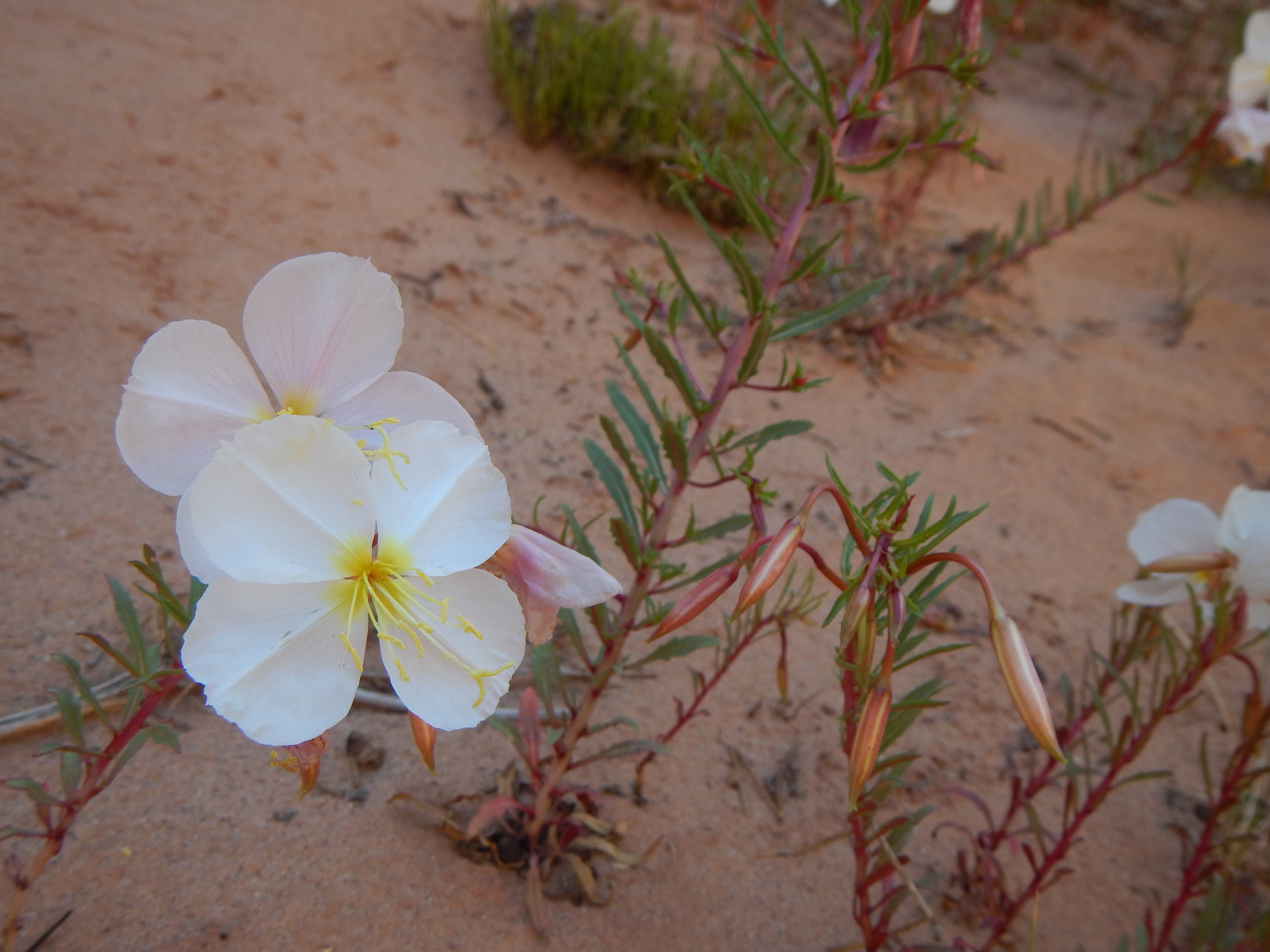 Photo: Lovely primrose flowers scattered about the sand...