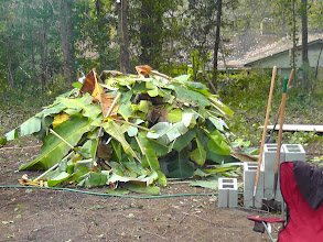 Photo: Covered with banana leaves, the last cooking step.