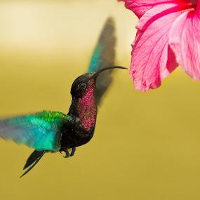 Purple-Throated Carib by Pascal Bénard - Animals Birds ( bird, fly, purple-throated carib )