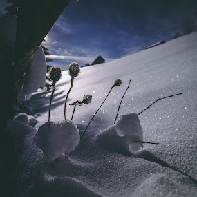 Grass covered by snow by Paul Voie - Nature Up Close Leaves & Grasses ( close up, plants, snow, winter, morning )