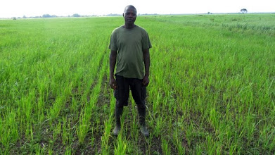 Photo: Line seeding with tractor pulled direct seeding machine, WARC field with Daniel Saidu in Tormabum, Bo District, SW Sierra Leone. [Photo by Erika Styger, July 2012]