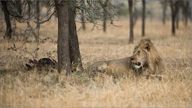 Photo: Lion with a Kill RJB Tanzania, Africa Tours Nikon D800 ,Nikkor 200-400mm f/4G ED-IF AF-S VR 1/800s f/4.0 at 350.0mm iso200 ray@raymondbarlow.com  #Circleshare #PublicCircle #circlesharing  #naturephotography  #wildlifephotography