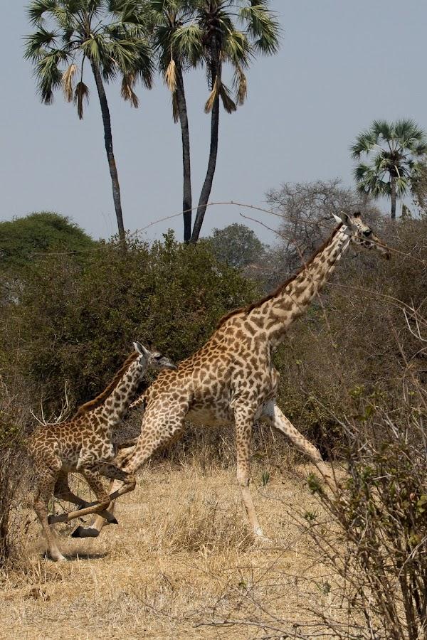 Giraffes by VAM Photography - Animals Other Mammals ( rusha, nature, giraffe, mammal, animal,  )