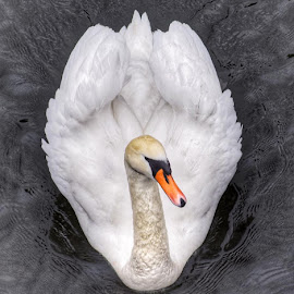 Swan by Julie Skinner - Animals Other