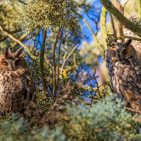 Long-eared owls by Roberto Melotti - Animals Birds ( roberto melotti, long eared owls, owl, long eared owl, nikon d810, birds, raptors, owls )