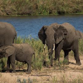 Elephant  by David Botha - Animals Other Mammals ( beautiful, mammals, elephant, water, wild, wildlife )