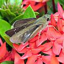 Common Swift ♀