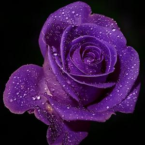 Rose37aa.jpg