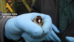 La Guardia Civil investiga a una persona al ser sorprendido capturando aves de pequeño tamaño no permitidas.