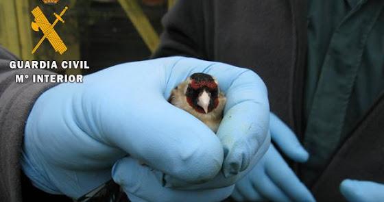 Investigan a un hombre por capturar aves pequeñas no permitidas en Alhama