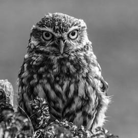 Owl by Garry Chisholm - Black & White Animals ( raptor, bird of prey, nature, garry, little owl )