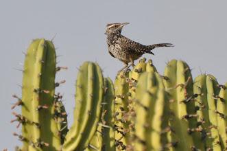 Photo: Cactus Wren (Kaktuszaunkönig); Juriquilla, QRO