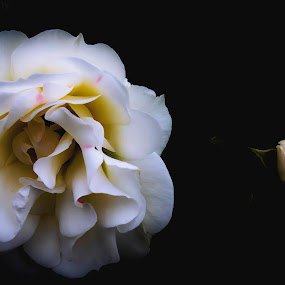white rose by Yılmz Doğn - Flowers Single Flower