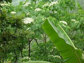 Photo: 油桐花 Aleurites montana