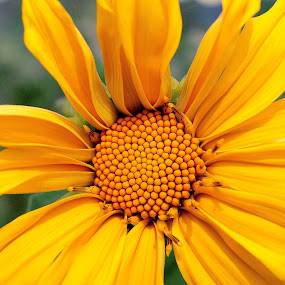 Yellow by Frans Widi - Nature Up Close Flowers - 2011-2013