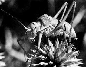 Photo: Portrait d'une éphippigère mâle . La femelle porte un long oviscapte ou tarière, ou ovipositeur pour pondre dans le sol. Ephippiger ephippiger (Ephippigère des vignes, Porte-hotte, Porte-selle, Porte-selle de la Vigne, Gril, Bourdrague, etc.) Derrière sa tête, le bouclier et l'appareil musical Ici sur chardon azurite ou chardon roland. 1972.vieille photo scannée.