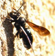 """Photo: Bonjour,    24°, nuageux et fort vent S-E.  Hyménoptère """" Andrena agilissima """", abeille des sables, posée sur un mur - avril -"""